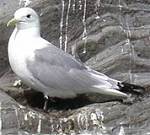 Alaskan Seagull. Copyright (c) 2001, Dave Etchells. All rights reserved.