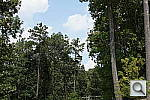 Click to see AA35PINE.JPG