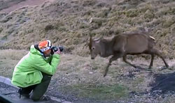 Deer Attacks Photographer Video
