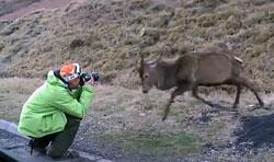 Deer Attacks Photographer Video